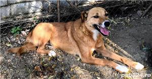 ZINA, metis Labrador, gratuit - imagine 2