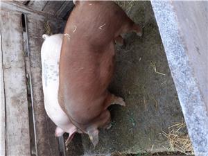 Porci - imagine 5