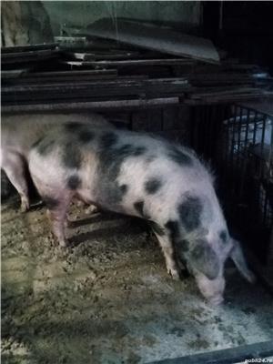 Porc pentru sacrificat  - imagine 2