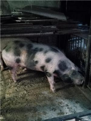 Porc pentru sacrificat  - imagine 1