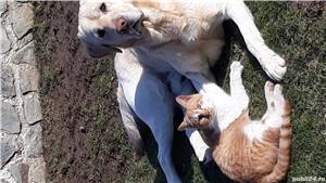 Labrador pt. monta - imagine 2