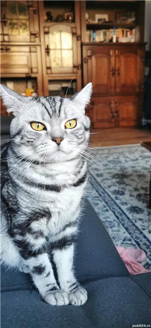 Motan British Shorthair Tabby Disponibil Pentru Împerechere  - imagine 1