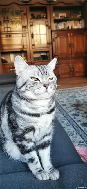 Motan British Shorthair Tabby Disponibil Pentru Împerechere  - imagine 3