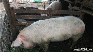 Porc crescut in curte - imagine 3