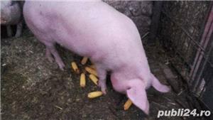 Porci, 12 lei kg - imagine 4