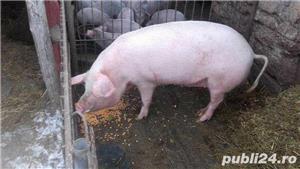 Porci, 12 lei kg - imagine 6