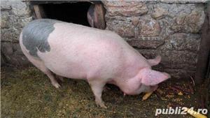 Porci, 12 lei kg - imagine 5