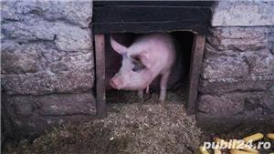 Porci, 12 lei kg - imagine 3