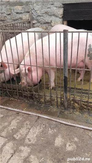 Porci, 12 lei kg - imagine 1