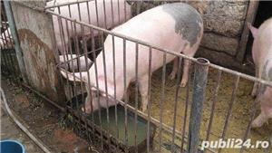 Porci, 12 lei kg - imagine 7