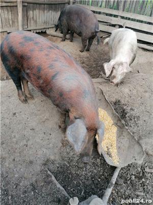 Vând porci crescuți bio - imagine 10