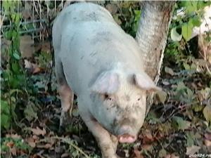 Vând porc - imagine 2