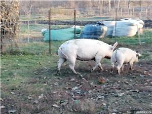 Vând porc - imagine 1