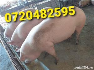 Porci 35-150 kg - imagine 2