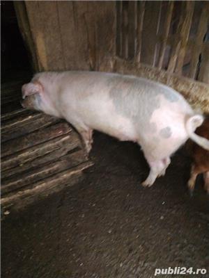 Porc de vânzare  - imagine 1
