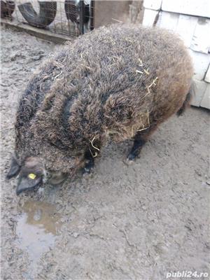Porc mangalita de vânzare  - imagine 3