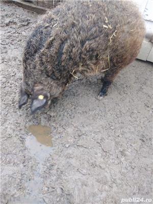 Porc mangalita de vânzare  - imagine 7