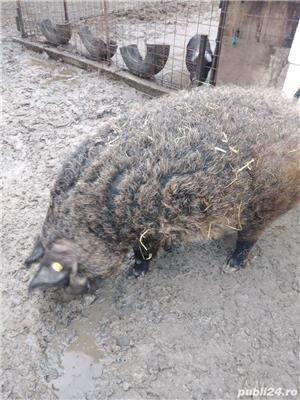 Porc mangalita de vânzare  - imagine 8