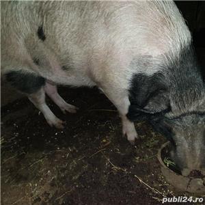 porci crescuti  bio - imagine 3