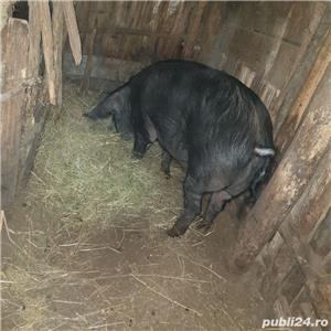 porci crescuti  bio - imagine 2