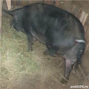 porci crescuti  bio - imagine 1
