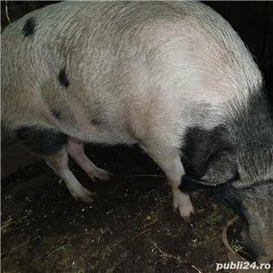 porci crescuti  bio - imagine 4