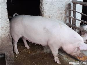 Vand porc - imagine 8