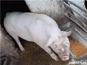 Vand porc - imagine 7