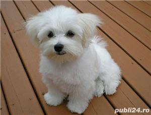 Bichon Maltese din parinti cu pedigree!!! - imagine 1