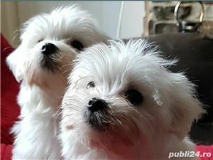 Bichon Maltese din parinti cu pedigree!!! - imagine 7