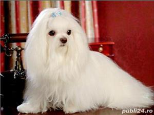 Bichon Maltese din parinti cu pedigree!!! - imagine 6