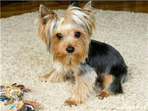 YorkShire Terrier Toy de calitate,Canisa!!! - imagine 4