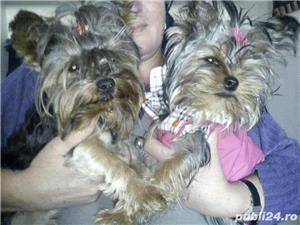 YorkShire Terrier Toy de calitate,Canisa!!! - imagine 8