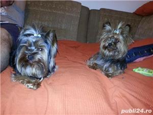 YorkShire Terrier Toy de calitate,Canisa!!! - imagine 5