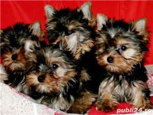 YorkShire Terrier Toy de calitate,Canisa!!! - imagine 2