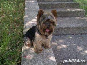 YorkShire Terrier Toy de calitate,Canisa!!! - imagine 7