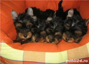 YorkShire Terrier Toy de calitate,Canisa!!! - imagine 6