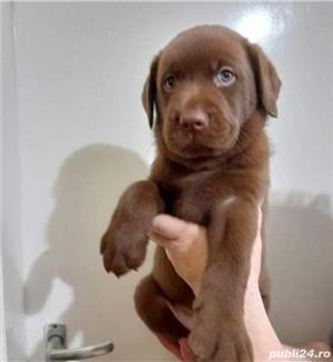 Vand labrador retriever retriver ciocolatiu - imagine 3