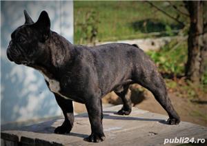 Monta Bulldog Francez Pedegree  - imagine 4