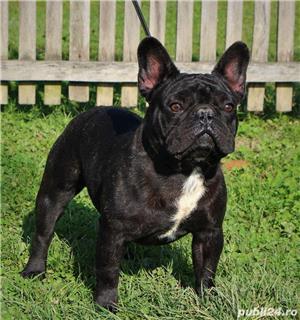 Monta Bulldog Francez Pedegree  - imagine 3