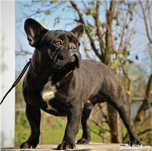 Monta Bulldog Francez Pedegree  - imagine 2