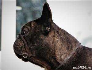 Monta Bulldog Francez Pedegree  - imagine 5