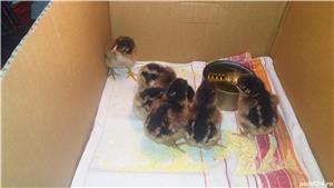 vand oua pentru incubat gaini rasa barnevelder gold .trimit oriunde in tara. - imagine 7