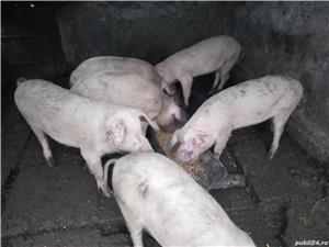Porci .,,   - imagine 2