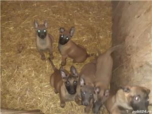 Pui ciobănesc belgian malinois in varsta de 2 luni - imagine 5