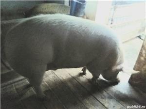 Vand porc mare sau schimb cu diverse, calitate exceptionala! - imagine 1