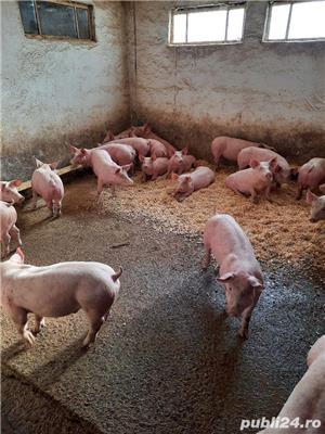 porci si purcei de carne - imagine 2