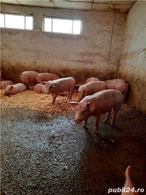 porci si purcei de carne - imagine 1