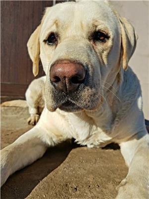 Labrador retriever monta - imagine 3