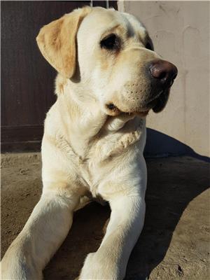 Labrador retriever monta - imagine 1